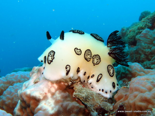 hippo-nudibranch-white-underwater-photography-airlie-beach