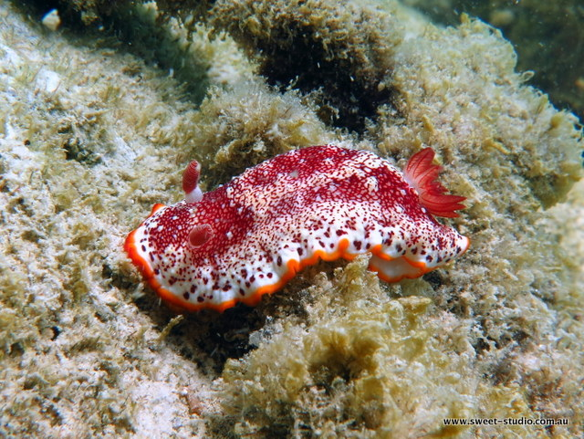 red and white nudibranch, australia, queensland